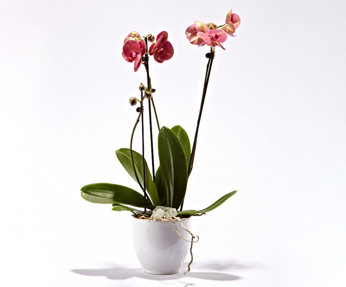 Pink orkide i skjuler