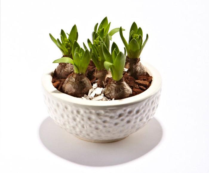 Hyacinter i skjuler