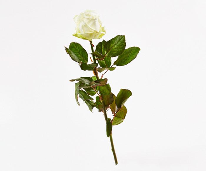 Image of   En hvid rose