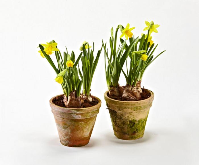 Mini påskeliljer i potter
