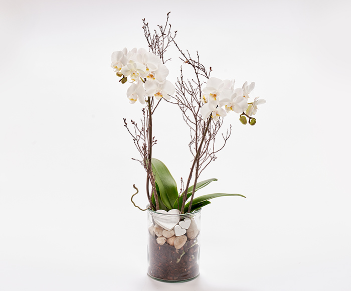 Romantisk orkidé, floristens valg