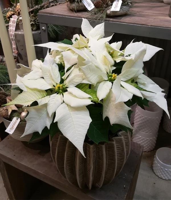 En smuk hvid julestjerne i potte