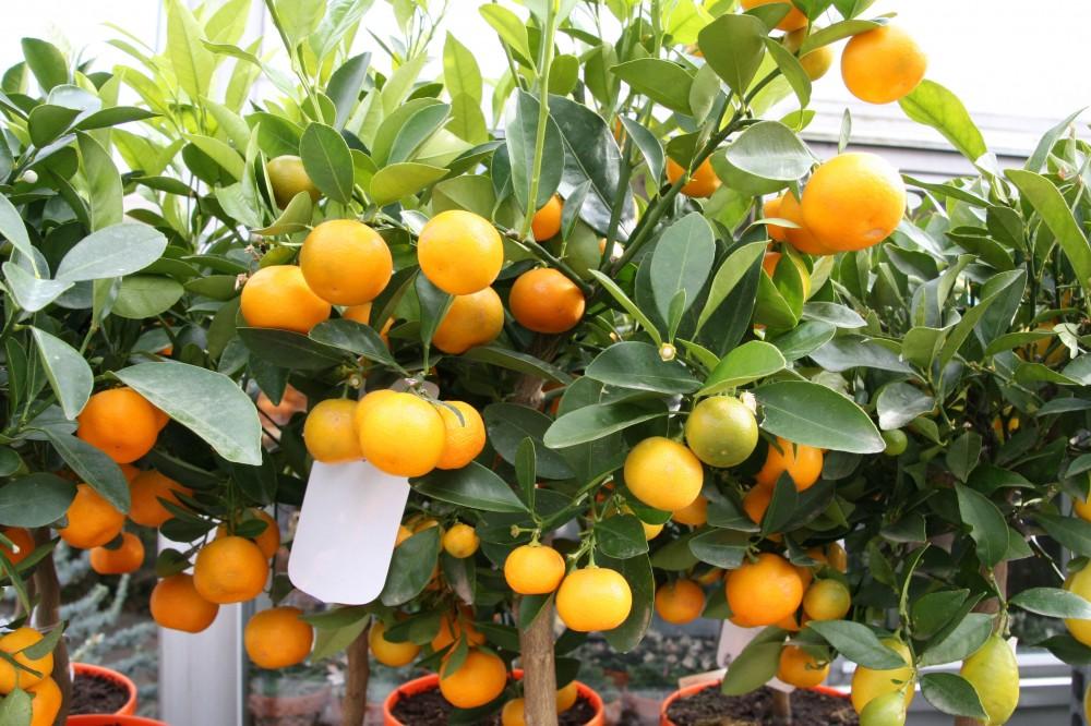 frugterne er sure