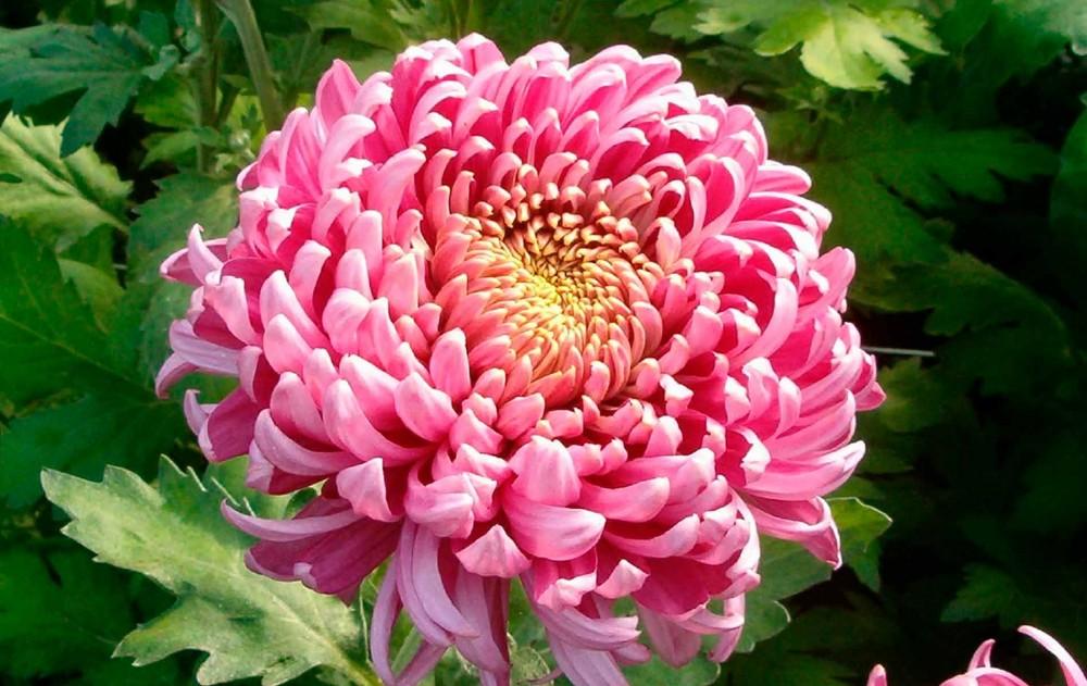 Pynt op med chrysanthemum indendørs